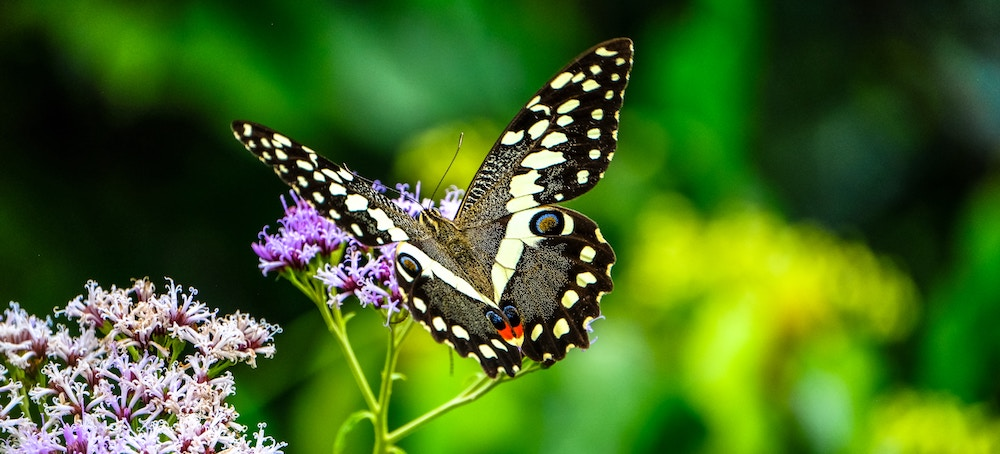 Black and White Butterfly on a Flower | ButterflyPages.com