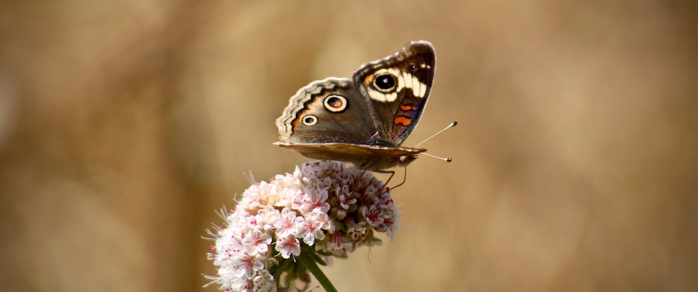 Butterfly on a Flower | ButterflyPages.com