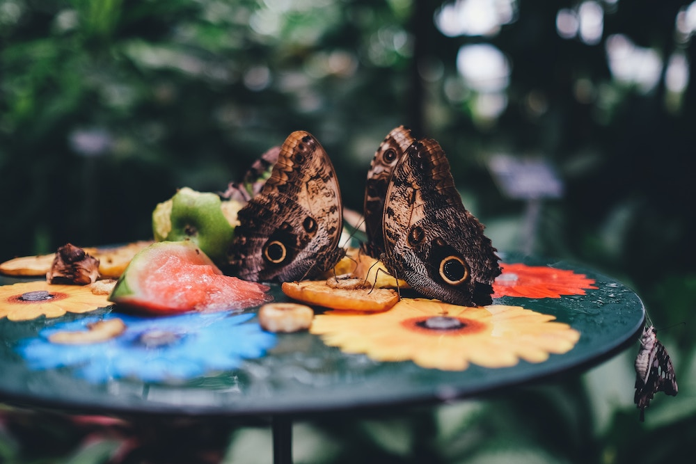 Butterflies Eating Fruit | ButterflyPages.com