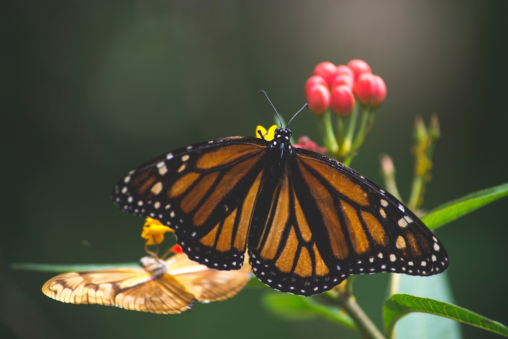 Butterfly Facts | ButterflyPages.com