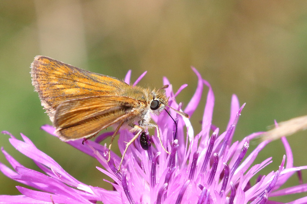 Lulworth Skipper Butterfly | ButterflyPages.com