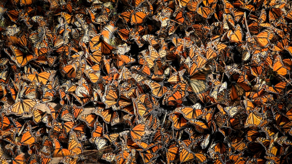 Monarch Butterflies Winter Resting Mexico | ButterflyPages.com